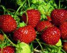 Защита ягодных культур от паутинного клеща