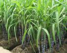 Бразилия одобряет первый в мире коммерческий ГМ-тростник