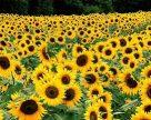 З якими проблемами стикнувся український соняшник