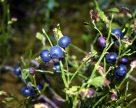 Как неурожай лесной черники «обвалил» цену на малину