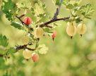 Колючая ниша на рынке ягод или украинский крыжовник будет дорожать