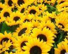 Посіви соняшнику на Запоріжжі