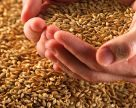 Урожайность пшеницы в Украине в среднем на 20 центнеров ниже прошлогодней