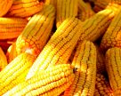 Европа стала больше потреблять кукурузы