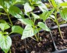 Затверджено процедуру експертного визначення якості насіння та садивного матеріалу