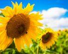 В Украине собрана треть урожая подсолнечника