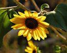 Рухомий фосфор  для соняшнику