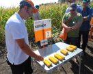 Німецькі холодостійкі гібриди кукурудзи показали свій потенціал в Харьківській області