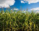 Аграрии сушат кукурузу в полях