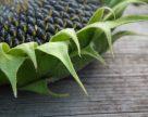 DuPont Pioneer Ukraine открывает линию по производству семян подсолнечника на Полтавщине