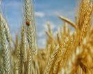 Украина теряет пшеничные рынки Индии и Египта?
