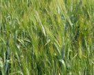 Перспективы использования ЖКУ для оптимизации фосфорного питания пшеницы