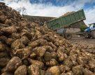 На Полтавщині цукристі збирають із випередженням графіка