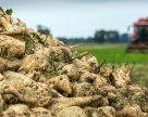 На Тернопільщині завершується бурякоцукровий сезон