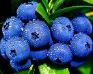 Украинцы-эмигранты не смогли покрыть дефицит работников на ягодных плантациях Польши