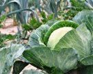 Як вберегти капусту від капустяної мухи?