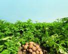 Фосфорне живлення картоплі