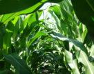 Соняшникова олія, кукурудза та пшениця