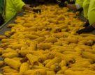 Бразилия может утроить производство биоэтанола на основе кукурузы