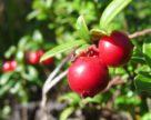 Клюква и голубика стали лидерами экспорта фруктов из Украины
