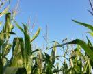 Новый мировой рекорд урожайности кукурузы составил  34 т/га