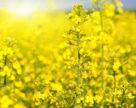 На европейском рынке рапс и кукуруза падают в цене