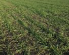 Посевы зерновых в ЕС в хорошем состоянии