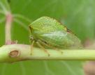 Захист винограду від цикадок потрібно починати з ранньої весни