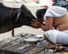Паспорта для индийских коров