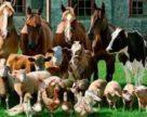 Виробництво продукції тваринництва в Україні цього року може зменшитися на 1,1%