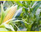 Непогода в Бразилії та Аргентині підвищує попит на українську кукурудзу