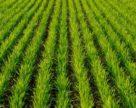 В Канаде площади под пшеницей увеличатся на 12,8%