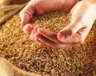Зернотрейдеры обязались до конца сезона экспортировать не более 2,81 млн. тонн пшеницы