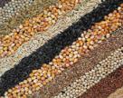 Некачественный семенной материал может стать источником болезней
