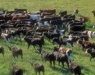 Використання високопоживних кормів допоможе наростити виробництво тваринницької продукції