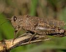 Нашествия саранчи опасаются в Казахстане