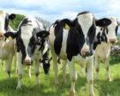 Право на експорт. Україна постачатиме яловичину до Туреччини