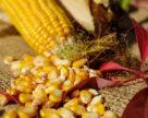 Карт-бланш для кукурузы от украинской погоды и китайской птицы