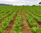 «Бучачагрохлібпром» має намір збільшувати виробництво цукрових буряків