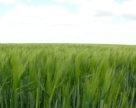 Врожайність озимого ячменю української селекції може сягнути 60 ц/га