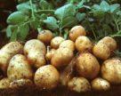 Виробникам молодої картоплі на півдні важко реалізувати продукцію