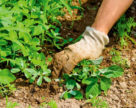 Альтернатива гербицидам