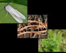 Американський білий метелик, золотиста картопляна нематода, амброзія полинолиста