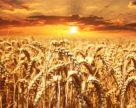 Минагропрод: Украина может собрать не меньше 60 млн тонн зерна