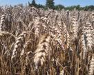 АгроПоле: мокрі жнива можуть підмочити продовольчу безпеку країни