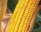 Україна  збільшила обсяги закупівель насіння кукурудзи німецької селекції