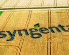 Syngenta: орієнтуймося на ф'ючерс чорноморської пшениці Чиказької біржі!