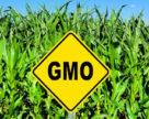Вьетнам может сократить импорт кукурузы, увеличив площади под ГМО