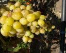 «Золоте гроно 2018» називає переможців конкурсу винограду та напоїв із нього