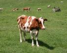 Поголів'я корів в Україні скоротилося на 3%